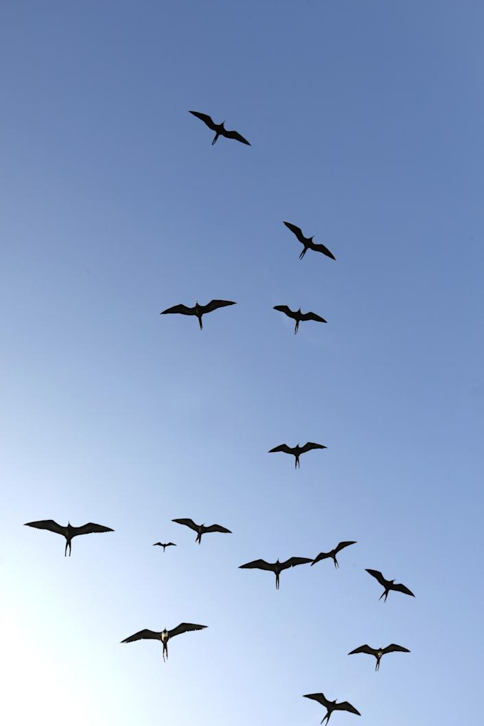 Frigate birds fly off the Galapagos Islands.