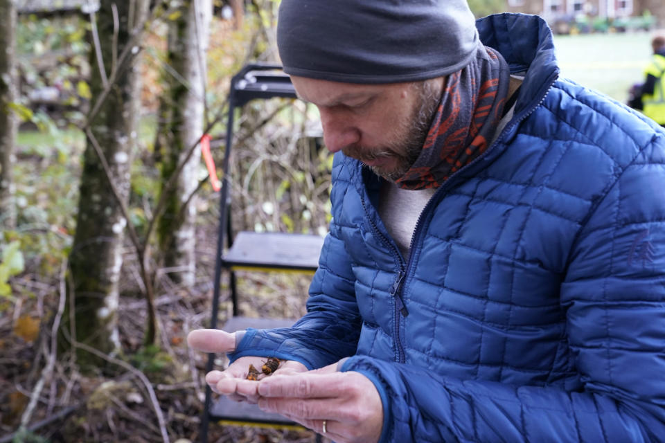 Washington State Department of Agriculture entomologist Chris Looney looks at two of the dozens of Asian giant hornets he vacuumed from a nest in a nearby tree Saturday, Oct. 24, 2020, in Blaine, Wash. Scientists in Washington state discovered the first nest earlier in the week of so-called murder hornets in the United States and plan to wipe it out Saturday to protect native honeybees, officials said. Workers with the state Agriculture Department spent weeks searching, trapping and using dental floss to tie tracking devices to Asian giant hornets, which can deliver painful stings to people and spit venom but are the biggest threat to honeybees that farmers depend on to pollinate crops. (AP Photo/Elaine Thompson)