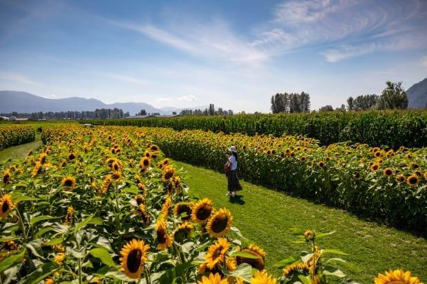 A woman walks between rows of sunflowers.  (Ben Nelms/CBC - image credit)