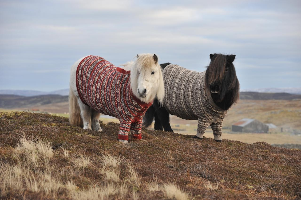 Shetland ponies Fivla and Vitamin model their woolen sweaters as part of Scotland's 'Year of Natural Scotland' ad campaign.