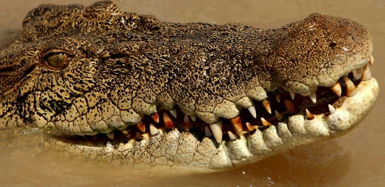 Saltwater crocodiles, common in northern Australia, can grow up to seven metres long and weigh more than a tonne