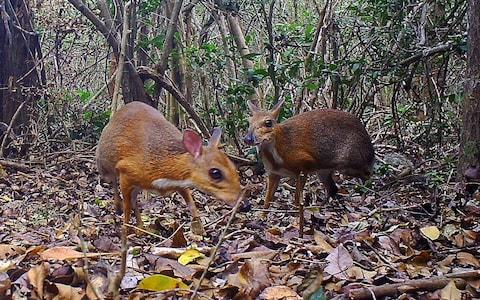 <span>The Vietnamese mouse-deers, pictured in an unknown location in Vietnam by a camera trap.</span> <span>Credit: AFP </span>
