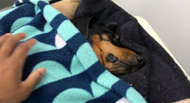 Coco the dachshund (pictured) died in the incident. Hero the staffy will not be put down, Cardinia Council has decided.
