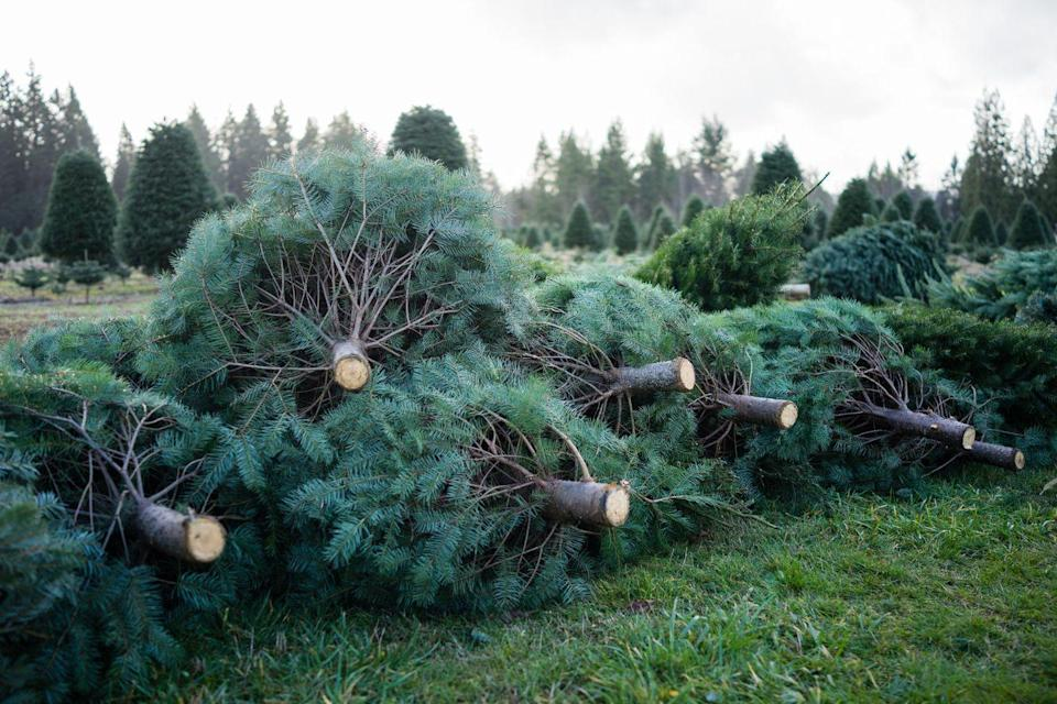 """<p><strong>Independence, Missouri</strong> (Starting November 23)</p><p>We're big fans of what comes with each purchase of a tree at<strong> <a href=""""https://www.fortosagefarm.com/hours/"""" rel=""""nofollow noopener"""" target=""""_blank"""" data-ylk=""""slk:Fort Osage Farm White Pine Lodge"""" class=""""link rapid-noclick-resp"""">Fort Osage Farm White Pine Lodge</a></strong>. Candy canes, coloring books, hot spiced tea and cocoa are all part of the deal ... and they'll provide the essentials for your tree-cutting experience. With so much beauty here we're not surprised that it doubles as a <a href=""""https://whitepinewedding.com/"""" rel=""""nofollow noopener"""" target=""""_blank"""" data-ylk=""""slk:wedding venue"""" class=""""link rapid-noclick-resp"""">wedding venue</a>. </p>"""