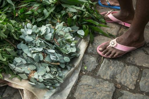 False claims: Hawkers in Madagascar are doing a roaring trade in leaves from the rose gum tree (Eucalyptus grandis), saying a herbal infusion can fend off coronavirus