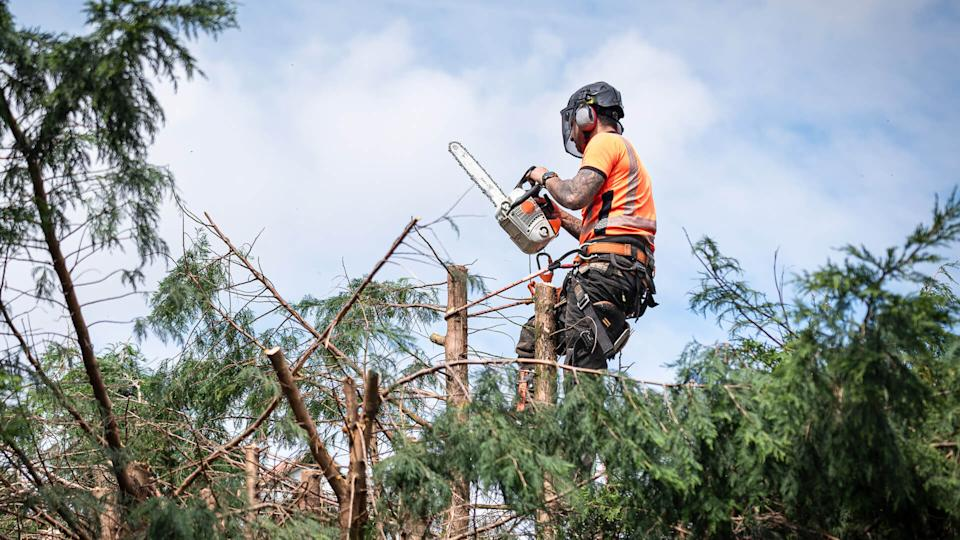 Tree surgeon hanging from ropes in the crown of a tree using a chainsaw to cut branches down.
