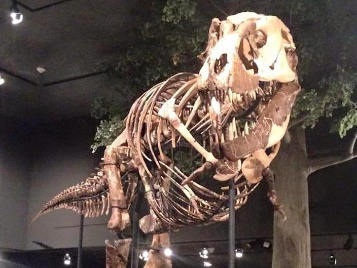 Army Corps of Engineers T rex dinosaur fossil