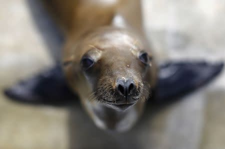 A rescued California sea lion pup looks up from her holding pen at Sea World San Diego in San Diego, California January 28, 2015.  REUTERS/Mike Blake