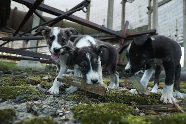<p>Stray puppies play in an abandoned, partially-completed cooling tower inside the exclusion zone at the Chernobyl nuclear power plant on Aug. 18, 2017, near Chernobyl, Ukraine. (Photo: Sean Gallup/Getty Images) </p>