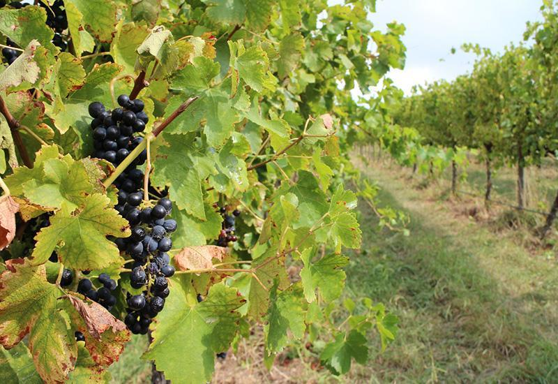 <p>Tamburlaine Wines is a Hunter Valley-based label that source 95 per cent of their fruit from this vineyard in Orange. Covering an area of 92 hectares, it's the largest vineyard in Orange, 100 per cent bio dynamically managed and certified organic.</p>