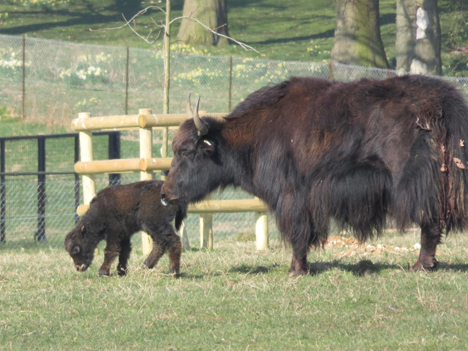 The newborn yak has yet to be named (ZSL Whipsnade Zoo/PA)