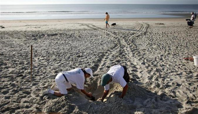 With turtle tracks in the background, volunteer Goffinet McLaren (L) and South Carolina United Turtle Enthusiasts head coordinator, Jeff McClary, check over the location of a freshly laid nest on Litchfield Beach along the coast of South Carolina August 9, 2012.