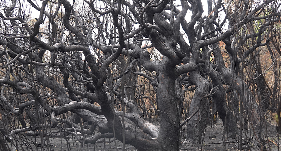 Forest at Perup was left scorched following prescribed burns authorised by the DBCA. Source: Bill Smart