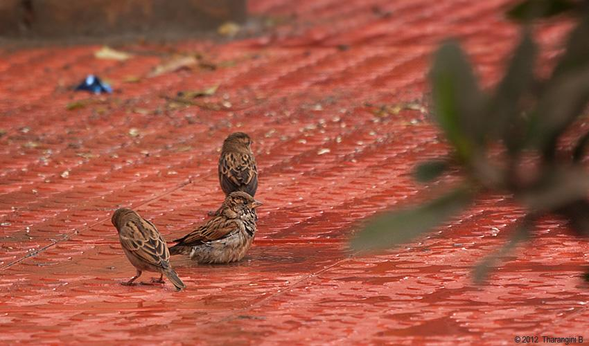 What can be better than a good bath after a nice meal! The freshly laid tiles had been watered to allow them to set. The sparrows chose to make the best use of it.