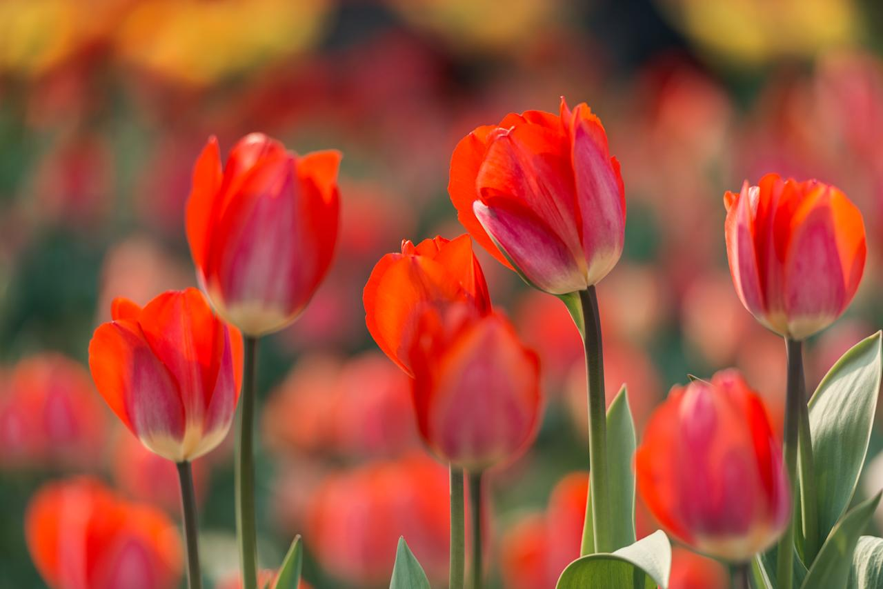 "The instantly recognizable <u><a rel=""nofollow"" href=""https://www.sunset.com/garden/flowers-plants/tulip-tulipa"">tulip</a></u> is another flower considered ""perfect,"" and as such it doesn't produce a high pollen count. What little extra pollen there is is usually snatched up quickly by birds and bees, who are always relieved to find this early-spring bloomer after a lean winter."