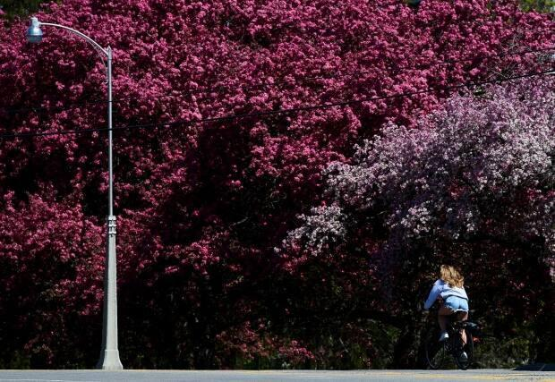 A cyclist pedals past colourful flowering trees in Ottawa's Arboretum on May 12, 2021. (Sean Kilpatrick/Canadian Press - image credit)