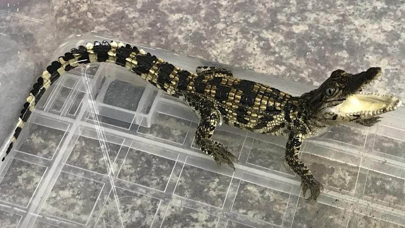 Small crocodile discovered in Hong Kong thought to have been released from illegal pet trade