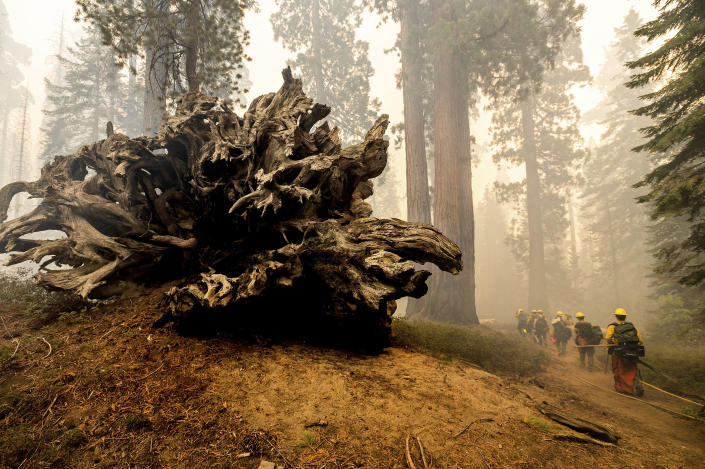 FILE - In this Sunday, Sept. 19, 2021, file photo, firefighters battle the Windy Fire as it burns in the Trail of 100 Giants grove of Sequoia National Forest, Calif. More than 2,000 firefighters were on the lines of the Windy Fire burning on the Tule River Indian Reservation and in Sequoia National Forest, including Giant Sequoia National Monument. California firefighters battled fast-growing forest fires threatening giant sequoias and small communities in the Sierra Nevada on Monday, Sept. 27. (AP Photo/Noah Berger, File)
