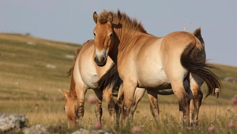 Wild Przewalski horses: a journey from France to Mongolia