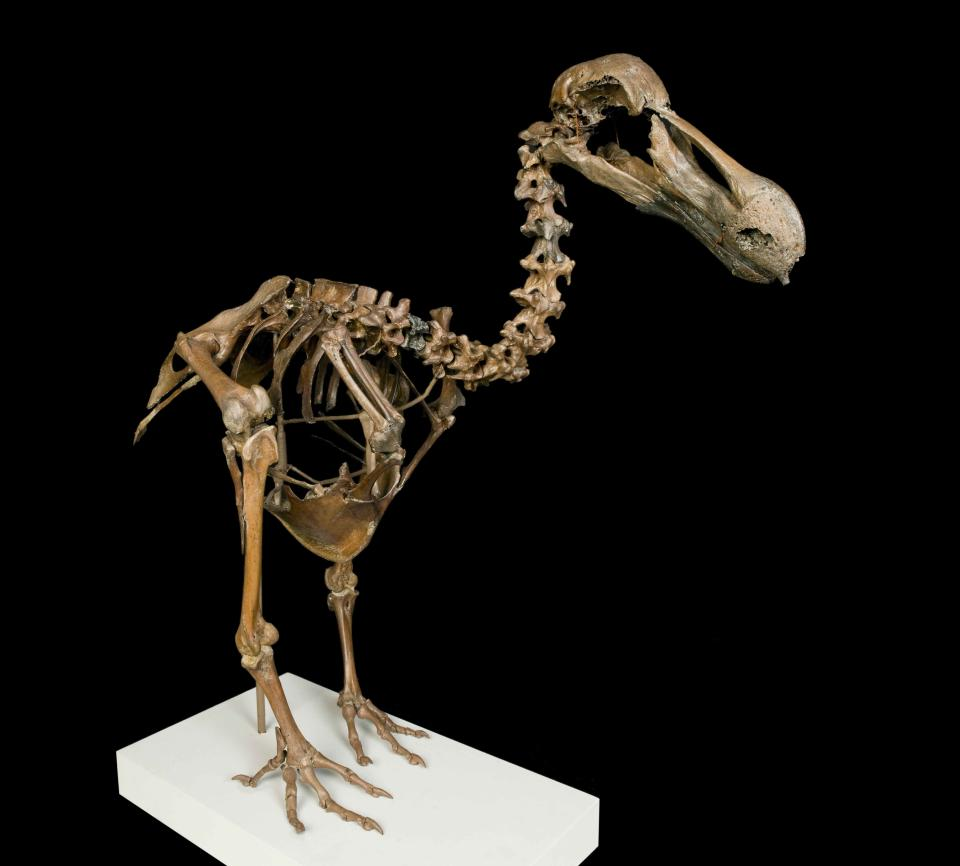 Dodo skeleton – a skeleton constructed from bones that are around 1,000 years old. The death of the dodo was one of the first widely acknowledged cases of human-caused extinction. The bird's fame was later secured by Lewis Carroll in his book Alice's Adventures in Wonderland. (Natural History Museum)
