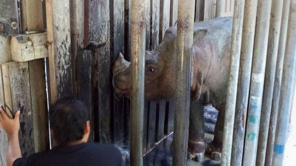 PHOTO: Tam, the last male Sumatran rhino looks out from his cage in Sabah, Malaysia in 2014. (Chris Annadorai via Reuters, FILE)