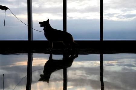 FILE PHOTO: Rumor, a German shepherd and winner of Best In Show at the 141st Westminster Kennel Club Dog Show, takes a command from his handler during a visit to One World Observatory atop One World Trade Center in New York, NY, U.S., February 15, 2017.  REUTERS/Brendan McDermid/File Photo