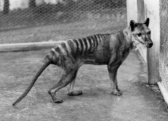 Humans Alone Wiped Out Tasmanian Tiger, Study Says