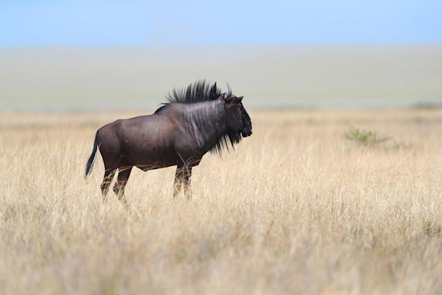 <p>A blue wildebeest pauses to look around while grazing in the grasslands of Etosha National Park. (Photo: Gordon Donovan/Yahoo News) </p>