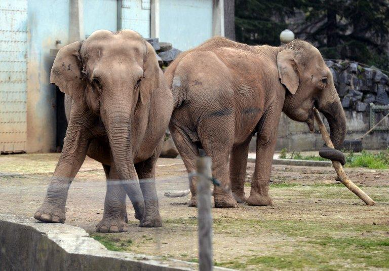 Baby and Nepal -- the two elephants suffering from tuberculosis -- wait in their enclosure at Lyon's Parc de la Tete d'Or zoo on January 6, 2013. French President Francois Hollande will not intervene in the case of two ailing zoo elephants whose death sentence led Brigitte Bardot to threaten to go into exile in Russia, according to his office