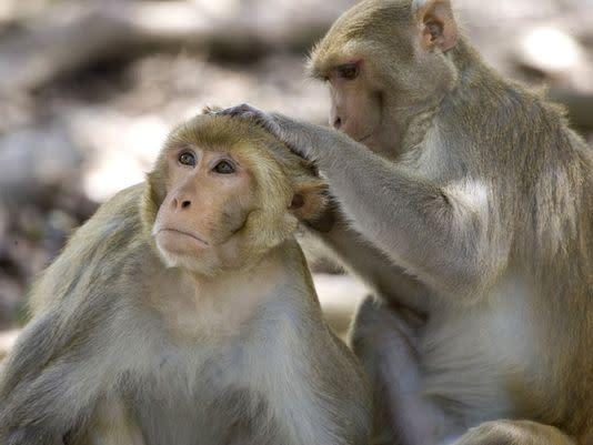 Rhesus macaques are the type of monkey that was exposed to the bacteria: AP