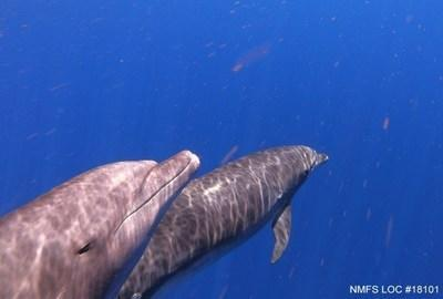 Fisheries Interactions More Threatening to Maui Nui Dolphins than Previously Thought: Pacific Whale Foundation Researchers Discover New Evidence