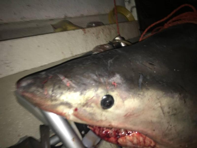 Coastguards left the fearsome shark on the boat after rescuing the fisherman (Marine Rescue New South Wales)