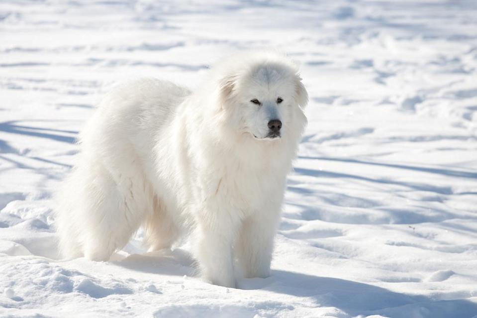 """<p>Although giant in size, the <a href=""""https://www.dailypaws.com/dogs-puppies/dog-breeds/great-pyrenees"""" rel=""""nofollow noopener"""" target=""""_blank"""" data-ylk=""""slk:Great Pyrenees"""" class=""""link rapid-noclick-resp"""">Great Pyrenees</a> is cat-like in its patient, calm, and gentle-natured demeanor. And despite what you may assume for a working breed, Pyrs (as they're called) are low maintenance: They can enjoy a short walk and be satisfied for the day.</p>"""