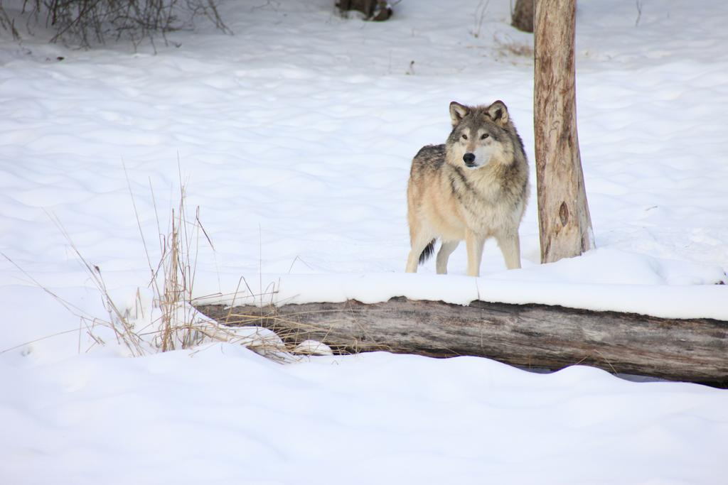 <b>Wolf</b> (Canis lupus)<br>Arctic Tundra, North America<br><br> Contrary to legend, wolves don't howl at the moon. But they're known to howl more frequently when it's lighter at night, which often happens during a full moon. The wolf has a complex communication system, and a howl might pinpoint pack location or warn of territory boundaries.
