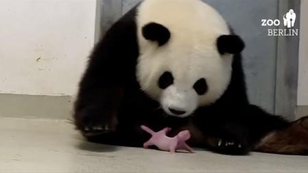 Berlin celebrates birth of Germany's first giant panda cubs