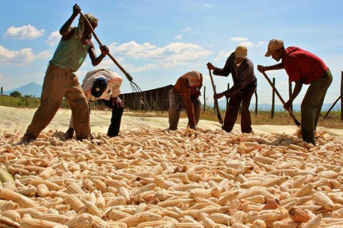 FILE PHOTO: Managers check the corn harvested by workers at a farm in Bako