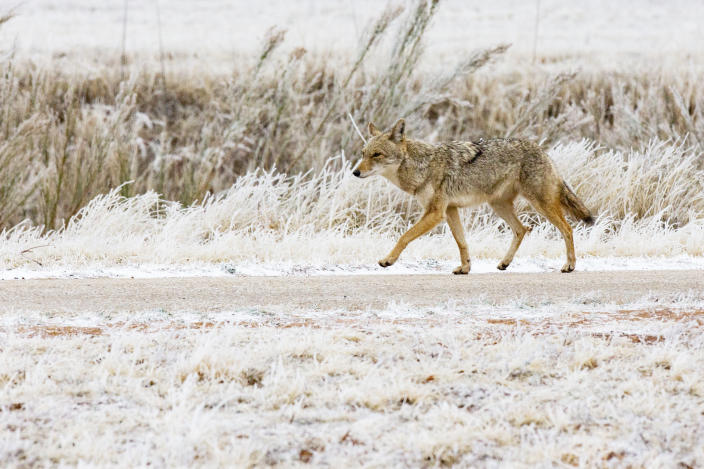 A coyote trots along a pathway at the University of Texas of the Permian Basin Friday, Feb. 12, 2021, in Odessa, Texas. Friday is the second day the Permian Basin has seen freezing weather as a Winter Weather Advisory issued by the National Weather Service for the region remains in effect until 11 a.m. Saturday. (Jacob Ford/Odessa American via AP)