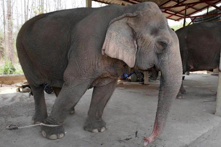With global travel paralysed the animals are unable to pay their way, including the 300 kilograms (660 pounds) of food a day a captive elephant needs to survive (AFP Photo/Handout)
