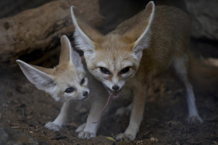 <p>A 6-week old Fennec fox, the smallest species of foxes, and a native to the Sahara desert in Africa, looks as its mother eats in the Ramat Gan Safari Park near Tel Aviv, Israel, Nov. 6, 2016. Sagit Horowitz, the safari spokeswoman said four Fennec foxes were born about six weeks ago. (AP Photo/Ariel Schalit) </p>