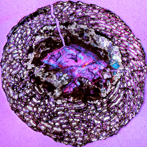 A cross-section of an embryonic dinosaur femur found in Yunnan, China. The honeycomb-like area is bone tissue with large spaces for blood vessels, indicating rapid growth of the bone.