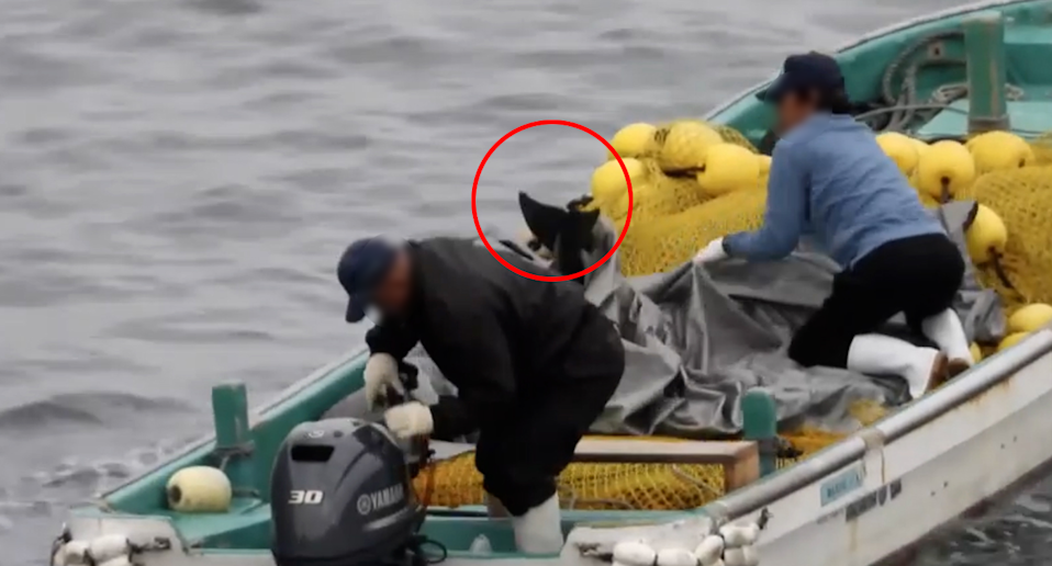 Hunters work to hide a thrashing dolphin underneath a tarpaulin. Source: LIA/Dolphin Project