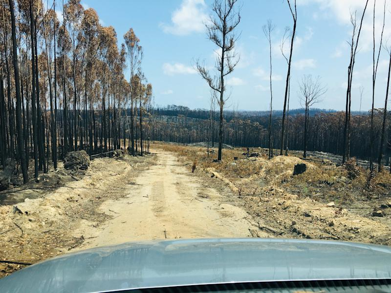 A burnt out forest on either side of the road. Shot from inside a car. The bonnet can be seen.