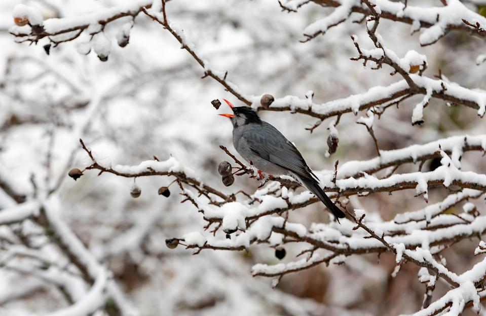 A Black Bulbul opens its beak to catch a piece of wild pear as it sits on a snow covered tree in Dharmsala, India, Monday, Dec. 28, 2020. Black Bulbul are often seen in small groups, either roosting or flying about in search of food. (AP Photo/Ashwini Bhatia)