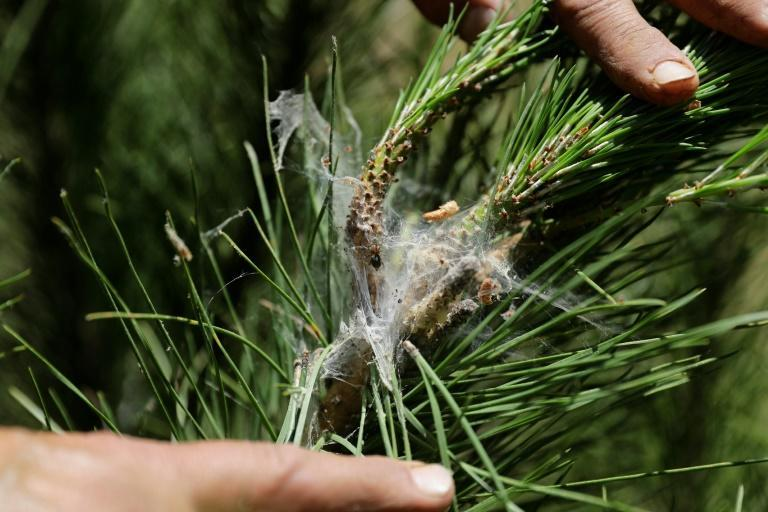 The former head of the Bkassine forest municipal comittee, Maroun Aziz, searches for parasites on a pine tree