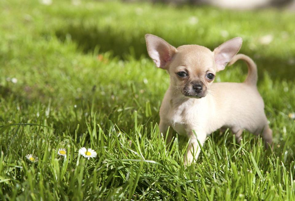 """<p>Even smaller than the Yorkie is the Chihuahua. Vet Street reports that <a href=""""http://www.vetstreet.com/dogs/chihuahua"""" rel=""""nofollow noopener"""" target=""""_blank"""" data-ylk=""""slk:they weigh six pounds"""" class=""""link rapid-noclick-resp"""">they weigh six pounds</a> and stand at five inches. <a href=""""https://www.etonline.com/news/163263_paris_hilton_dog_tinkerbell_dies"""" rel=""""nofollow noopener"""" target=""""_blank"""" data-ylk=""""slk:Paris Hilton famously had a Chihuahua companion"""" class=""""link rapid-noclick-resp"""">Paris Hilton famously had a Chihuahua companion</a> named Tinkerbell who sadly passed away in 2015.</p>"""