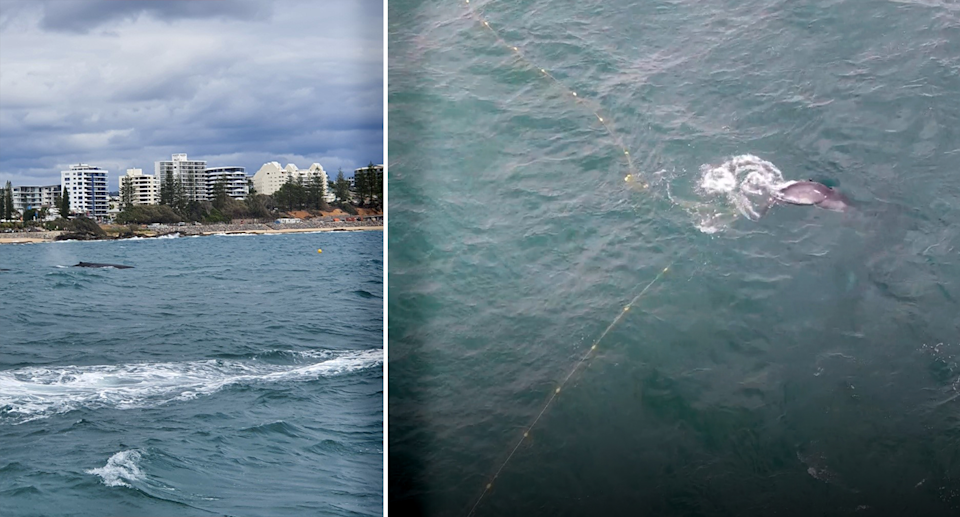 While boats kept a safe distance from the whale, a drone was able to get a clearer view of its situation. Source: SunReef / Sea Shepherd