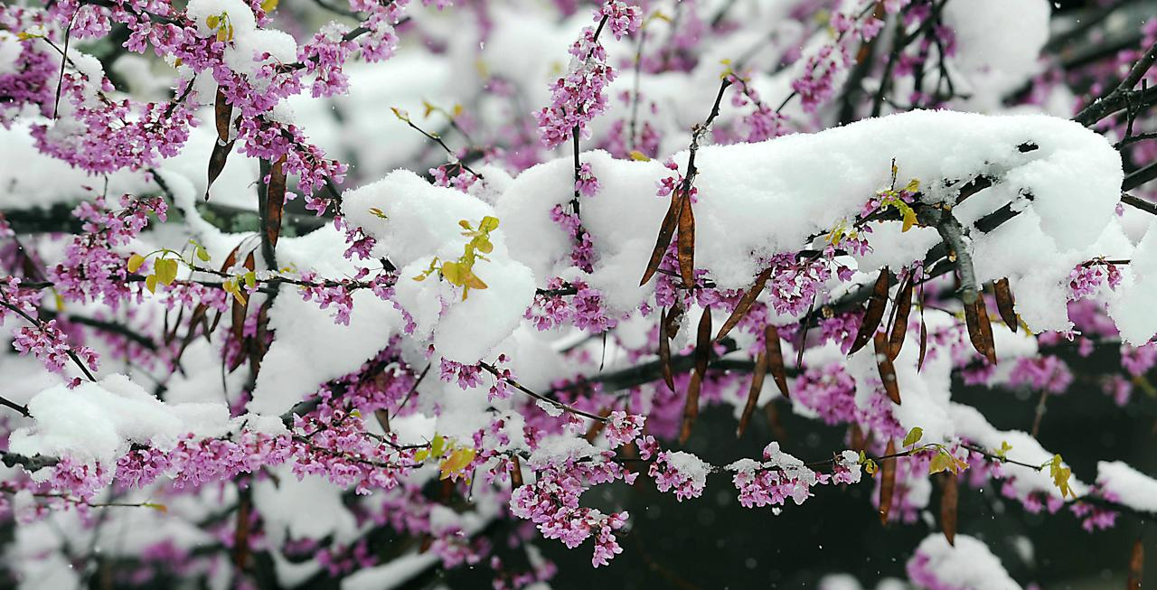 A flowering Dog wood tree in Johnstown, Pa., is covered by a fresh blanket of snow, Monday, April 23, 2012. A spring nor'easter packing soaking rain and high winds churned up the Northeast Monday morning, unleashing a burst of winter and up to a foot of snow in higher elevations inland, closing some schools and sparking concerns of power outages. (AP Photo/The Tribune-Democrat, Todd Berkey)