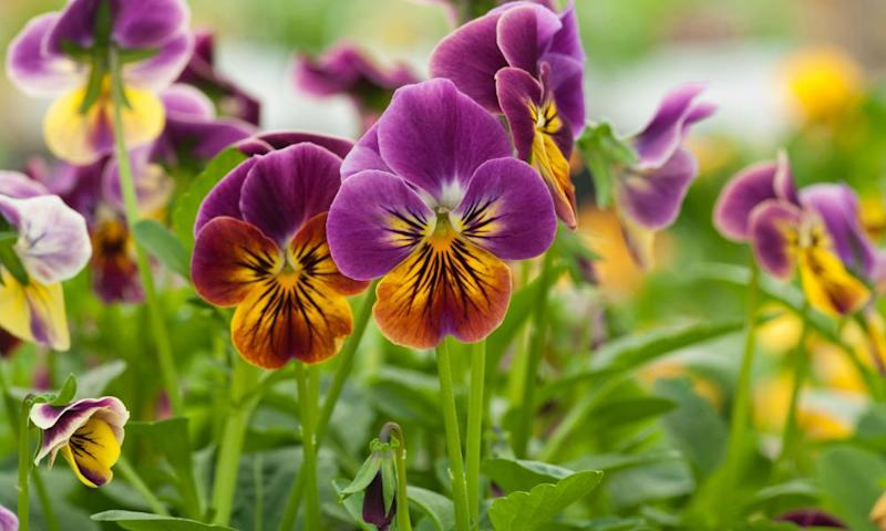 Viola Sorbet 'Antique Shades'.