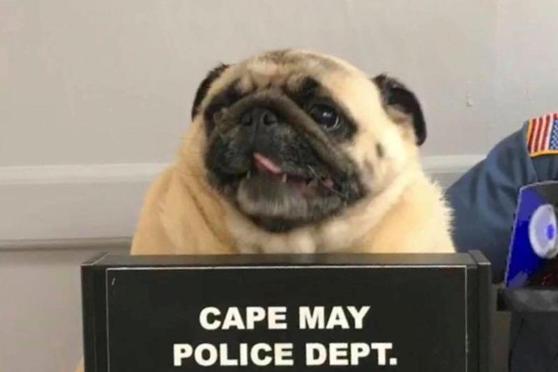 Pugshot: Bean the runaway dog was discovered by police in New Jersey: AP