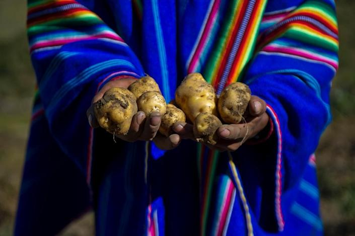 Peru is the country with the greatest diversity of potatoes in the world, with some 3,800 types, differing in size, shape, color, skin, pulp, texture and taste, all of which have their place in Peruvian cuisine (AFP Photo/Ernesto Benavides)